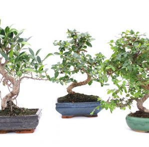 quanto-costa-un-bonsai